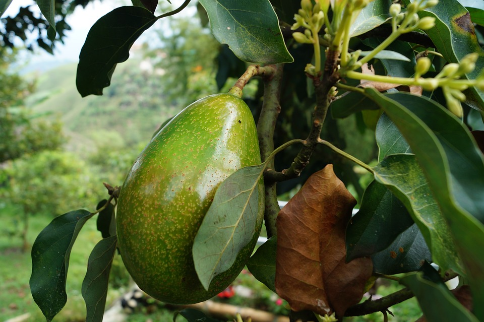 avocado, butter fruit, health, avocado tree